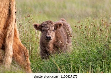 Very young Highland Cattle cow in grassland on Exmoor with partial view of mother next to it.