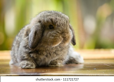 Very young holland lop rabbit sitting on wood floor in the garden
