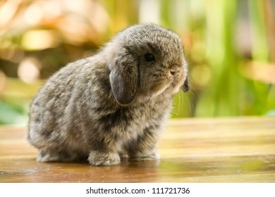 Very young holland lop rabbit standing on wood floor in the garden