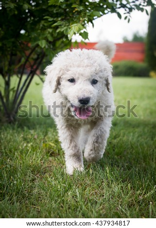 Very Young Hungarian Kuvasz Puppy Stock Photo Edit Now 437934817