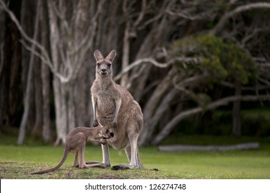 Very Young Joey About to Climb Back Into the Pouch