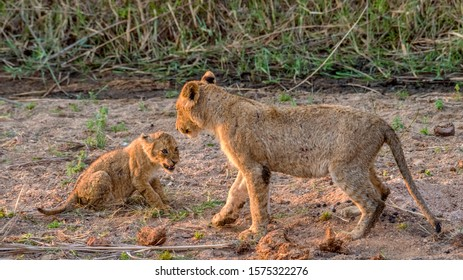 Very Young Lion Cub Growling at an Older Lion Cub during Play