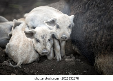 very young little pigs lying