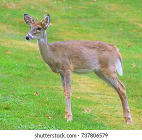 A very young male Whitetail deer on a green lawn.