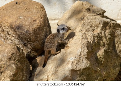 Very young meerkat pup climbing on some rocks. Looking very cute.