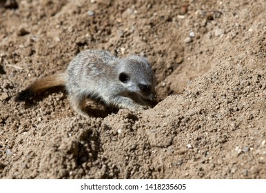 Very young meerkat pup  digging a hole, really cute.
