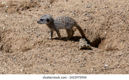 Very young meerkat pup has just dug a hole and is now off across the sand.