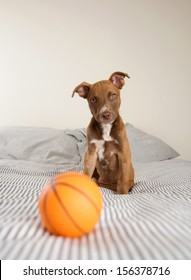 Very Young Pit Bull mix Puppy Playing on Bed with Rubber Basketball Toy