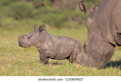 A very young white rhino in the African grassland