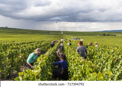 Verzy, France - September 9, 2017: Harvest of the grapes in the champagne area with women cutting chardonnay grapes in the vineyard at Verzy.