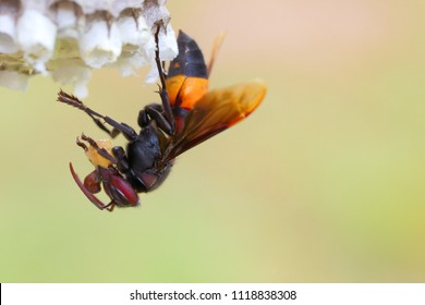 Vespa affinis or Paper Wasps. An insect that feeds on animals such as larvae insects and is also a predator.