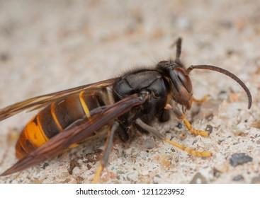 Vespa velutina assian wasp