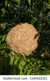 VESPA VELUTINA NEST  , asian wasp nest on a tree