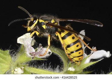 Vespula, a genus of social wasps, widely distributed in the Northern Hemisphere