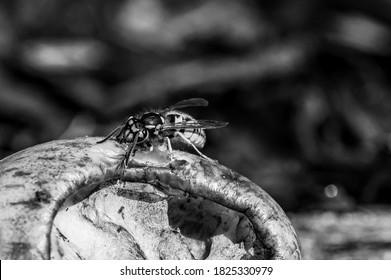 Vespula germanica, european wasp eating a discarded apple