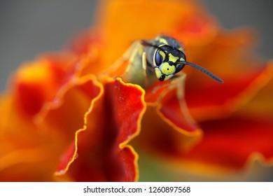 Vespula germanica,  German wasp or German yellowjacket