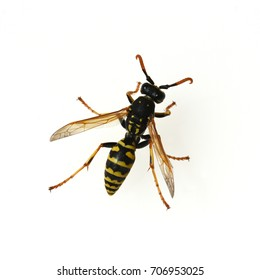 Vespula Germanica. Wasp