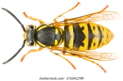 Vespula vulgaris, known as the common wasp or European wasp or common yellow-jacket isolated on white background. Dorsal view of wasp Vespula vulgaris.