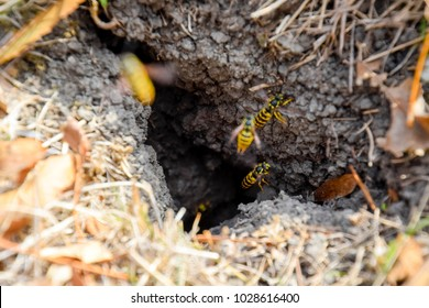 Vespula vulgaris. Wasps fly into their nest. Mink with an aspen nest. Underground wasps