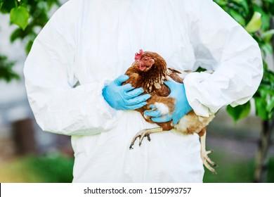 Vet doctor examining chicken.  Vet concept