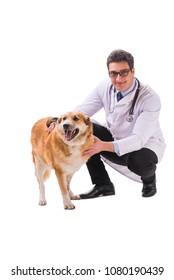 Vet doctor examining golden retriever dog isolated on white