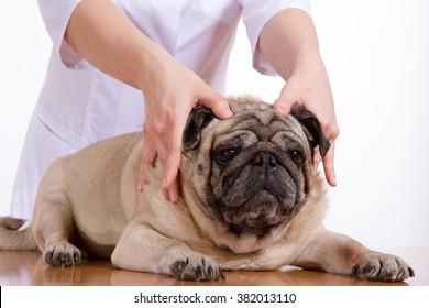 the vet examines the dog pug