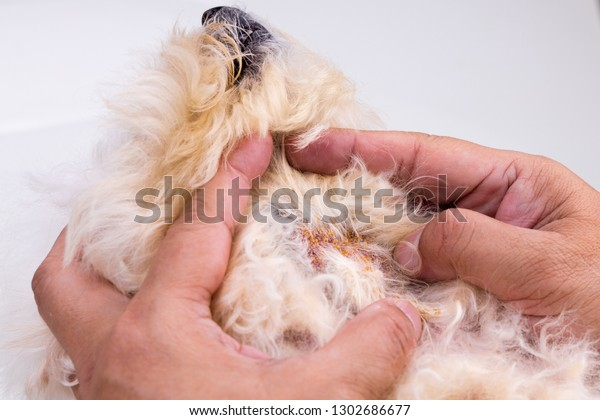 Vet examining dog with bad yeast and fungal infection on her skin and body.  Itchy, darkened, dry peeling skin.