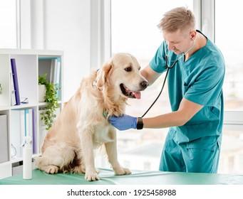 Goldener Retriehund mit Stetoskop in der Tierklinik