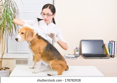 Vet makes an injection of dog  breed of beagle