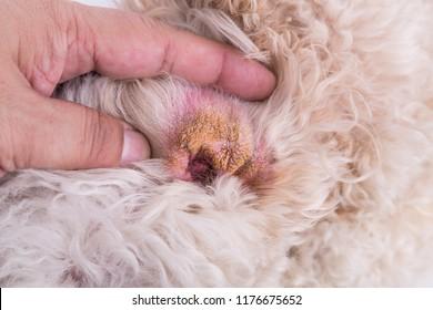 Vet showing the dry ear skin on dog suggesting symptom of Aural Hematoma