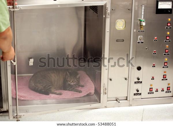 vet technician opens door to oxygen cage