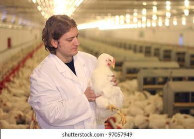 Vet working on chicken farm