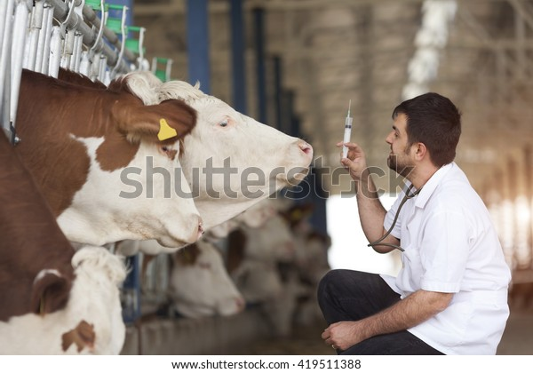 Vet Working On Simmental Cows