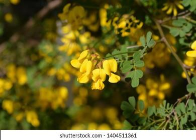 Vetch-like coronilla - Latin name - Hippocrepis emerus subsp. emeroides (Coronilla emerus subsp. emeroides)