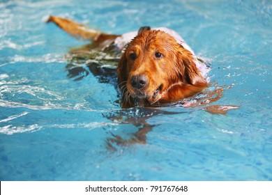 Veteran dog swimming. Golden Retriever swim in swimming pool.