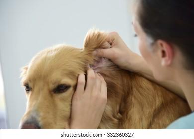 Veterinarian checking dog's ears