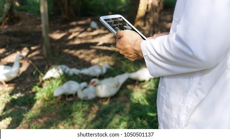 veterinarian is checking poultry health in farm