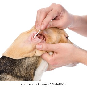 Veterinarian cleans ears to a dog. isolated on white background