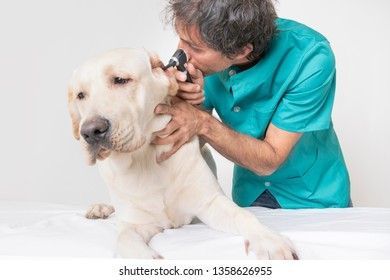 veterinarian in the consulting looking at the ears of a preserving labrador puppy holding one of his ears on isolated white background. animal medicine concept