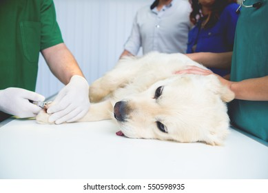 Veterinarian or doctor checking up golden retriever dog at vet clinic.Colored,Under exposed photo