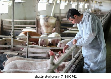 Veterinarian Doctor Examining Pigs at a Pig Farm. Intensive pig farming. Veterinarian doctor wearing protective suit.