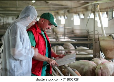 Veterinarian Doctor and Farmer in Pig Barn.Intensive pig farming.  Pig farm worker. Veterinarian doctor examining pigs at a pig farm.