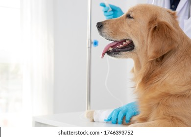 Veterinarian doctor and  Golden Retriever at vet ambulance, Maintain animal health Concept