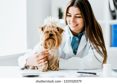 Veterinarian doctor and a york terrier at vet clinic.