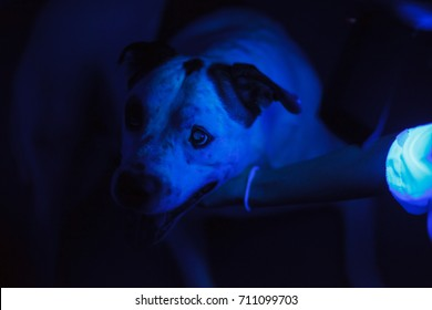 Veterinarian exam a dog skin using blacklight.