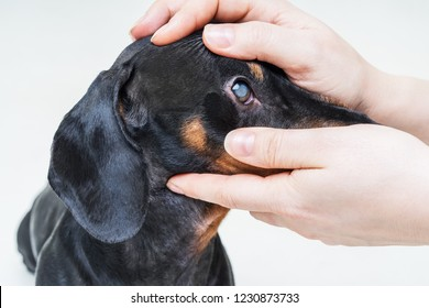 Veterinarian examine on the eyes of a dog dachshund. Cataract eyes of dog. Medical and Health care of pet concept.