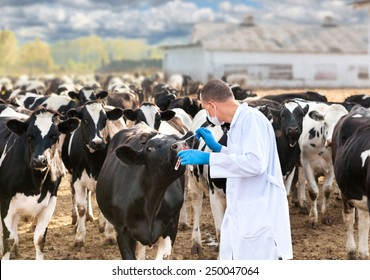veterinarian examines the animal on the ranch cows