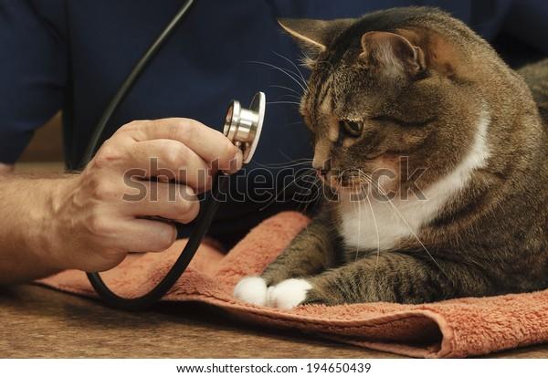 Veterinarian Examines a Large Tabby Cat