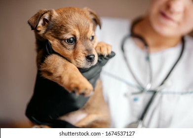 Veterinarian examines a puppy in a hospital. the little dog got sick. puppy in the hands of a veterinarian.