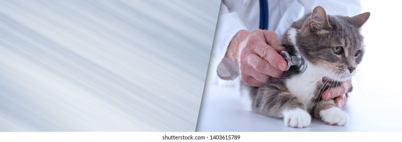Veterinarian examining a cat with a stethoscope. panoramic banner